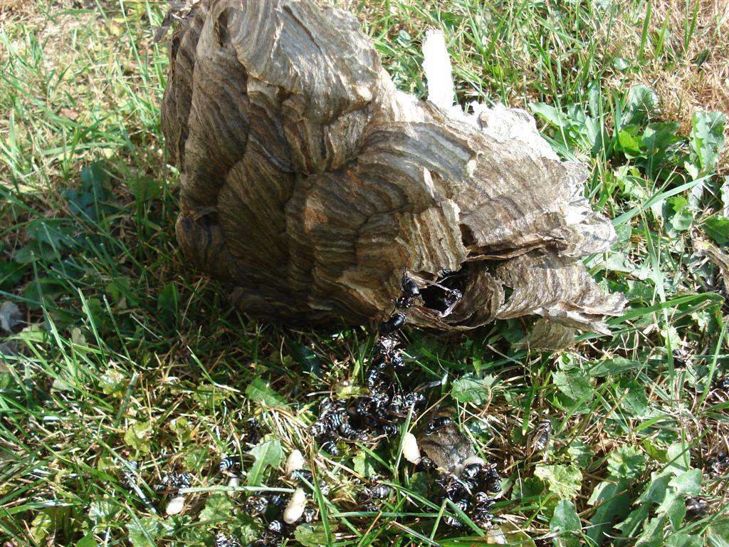 Dead Hornets Nest