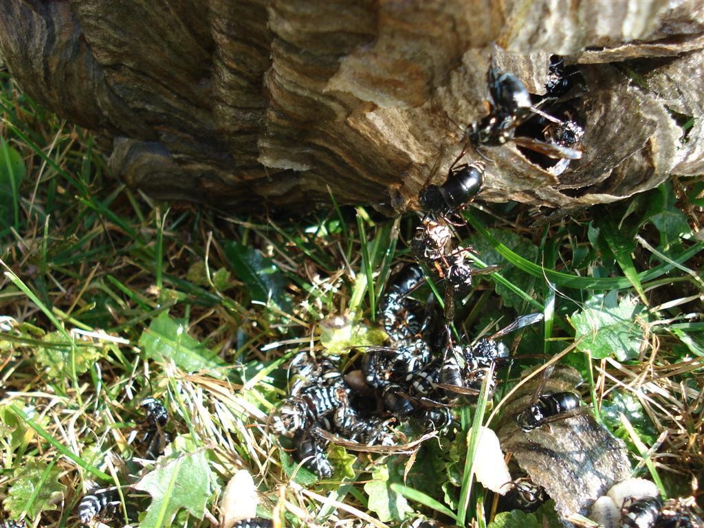 Dead Hornet Nest