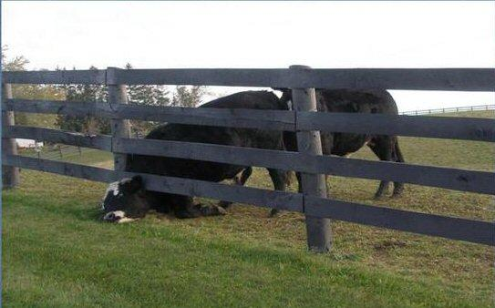 Cow gets sexed while reaching under a fence