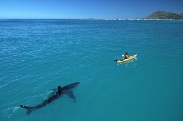 great-white-shark-following-kayak1