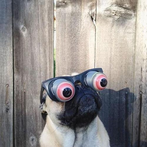 Bug Eyed Pug