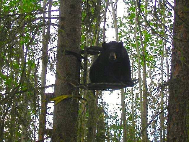 bear in my treestand