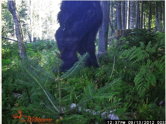 trail-cam-bigfoot